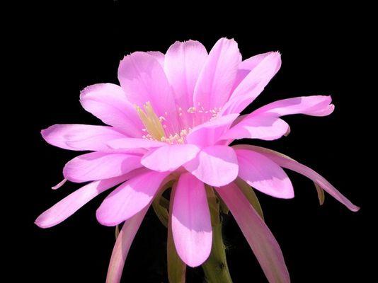 Echinopsis obrepanda