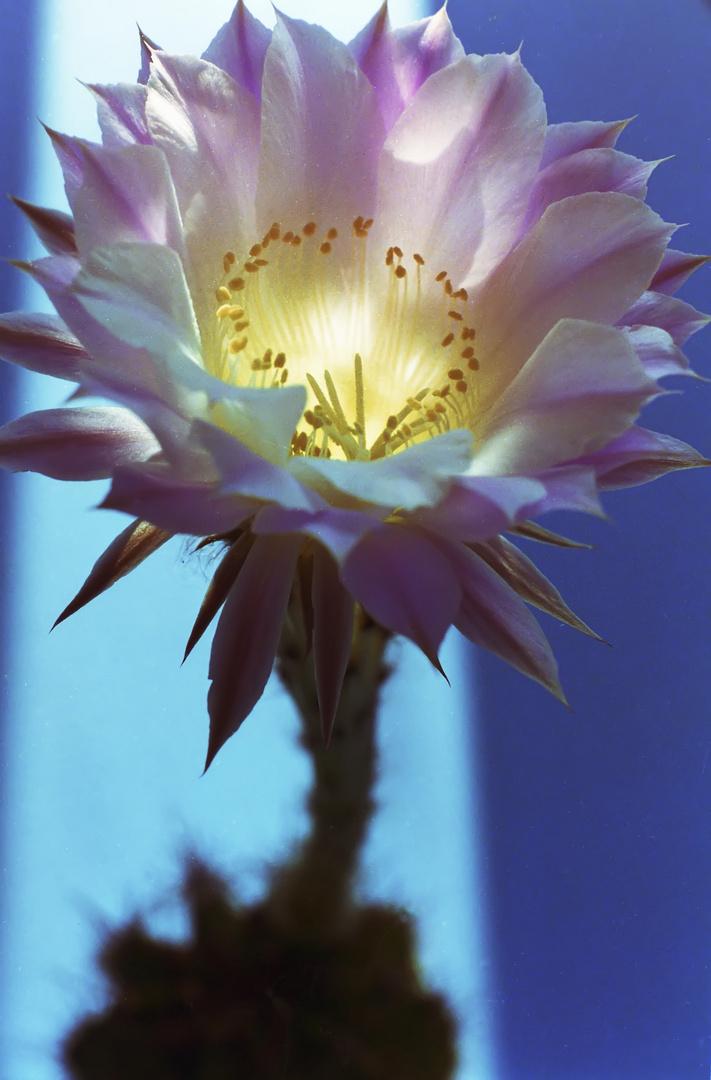 Echinopsisblüte
