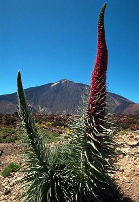 Echium wildpretii vor Teide