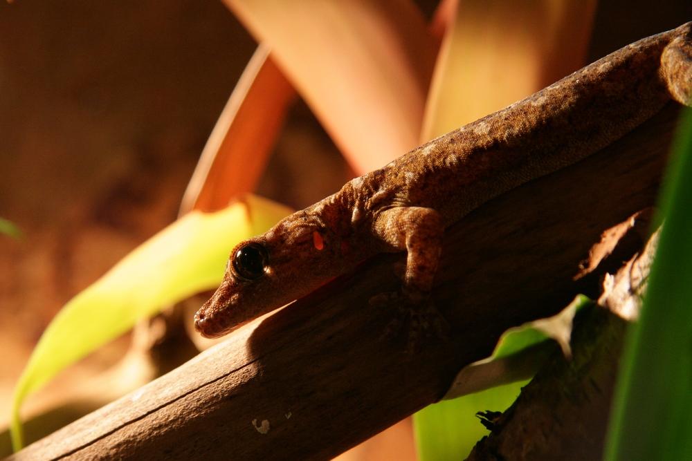Echse (Gecko ?)
