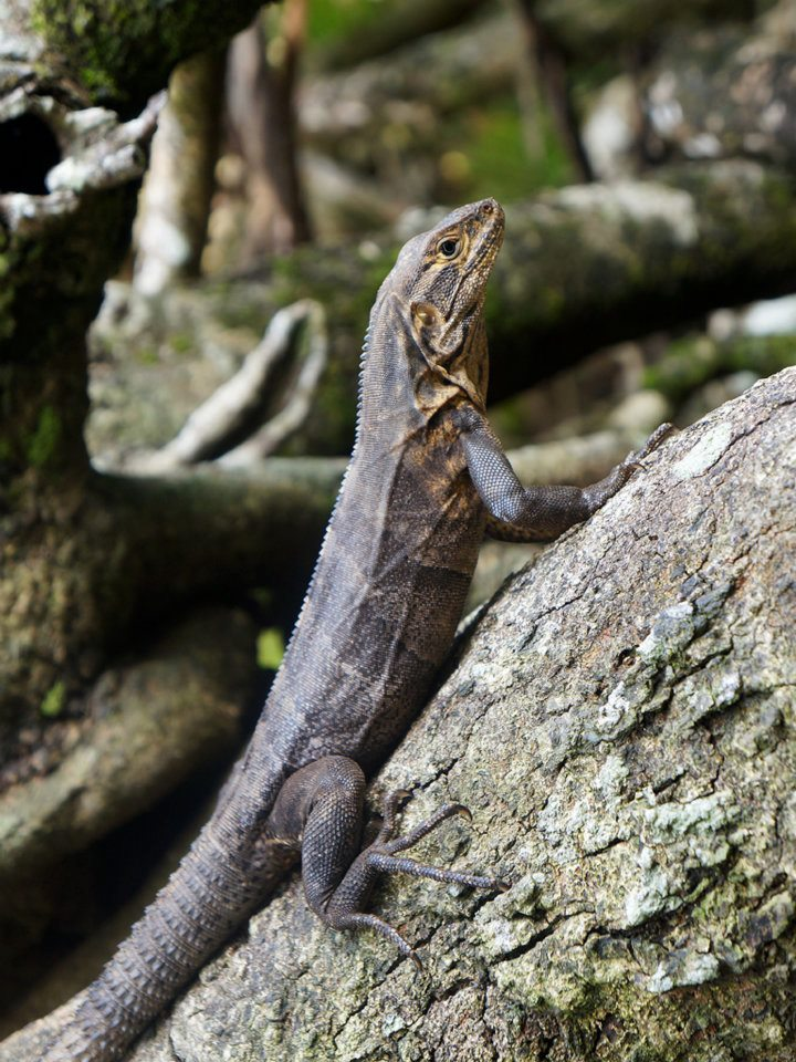 Echse in Costa Rica