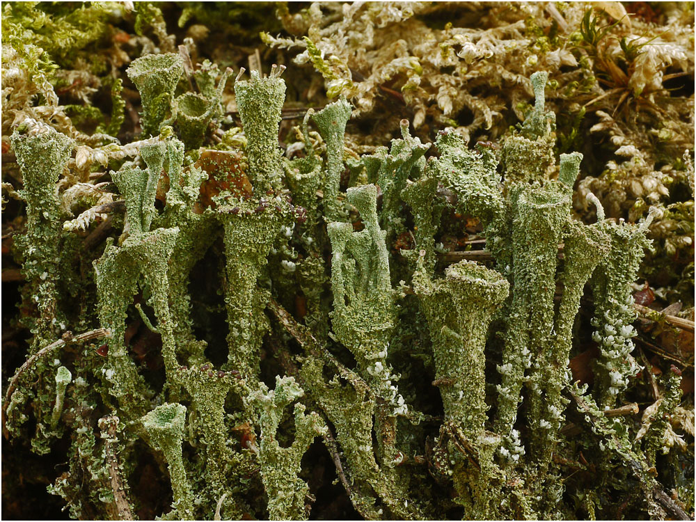 Echte Becherflechte (Cladonia pyxidata)
