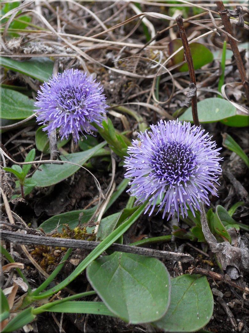 Echte Kugelblume (Globularia punctata)
