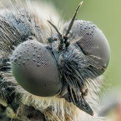 Echte Schneidenfliege - Leptarthrus brevirostris