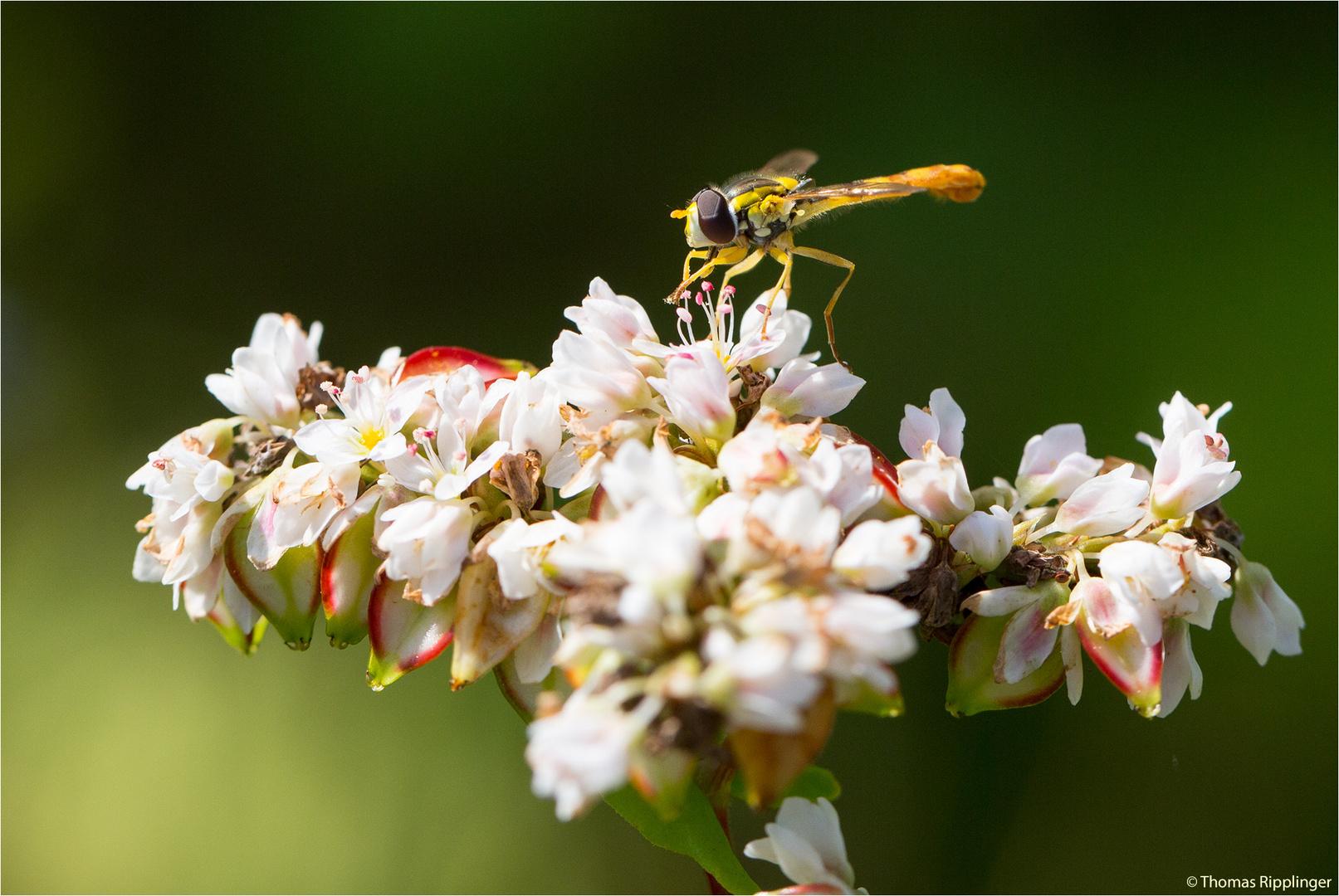 Echter Buchweizen (Fagopyrum esculentum).