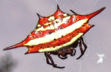 Eckige Spinne