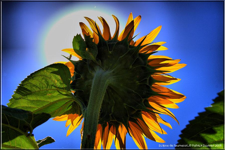 Eclipse de Tournesol