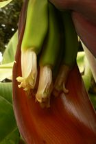 Eclosion d'une fleur de bananier
