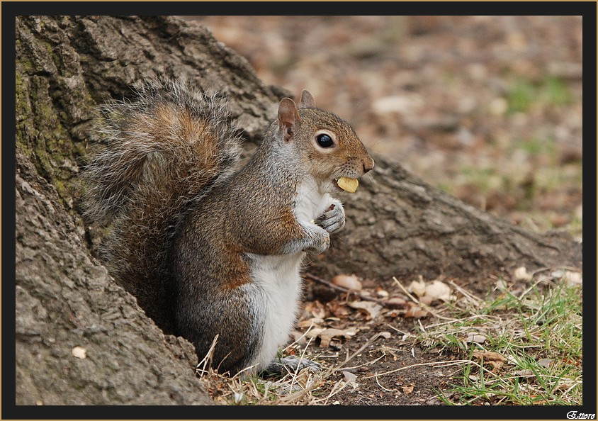 ècureuil