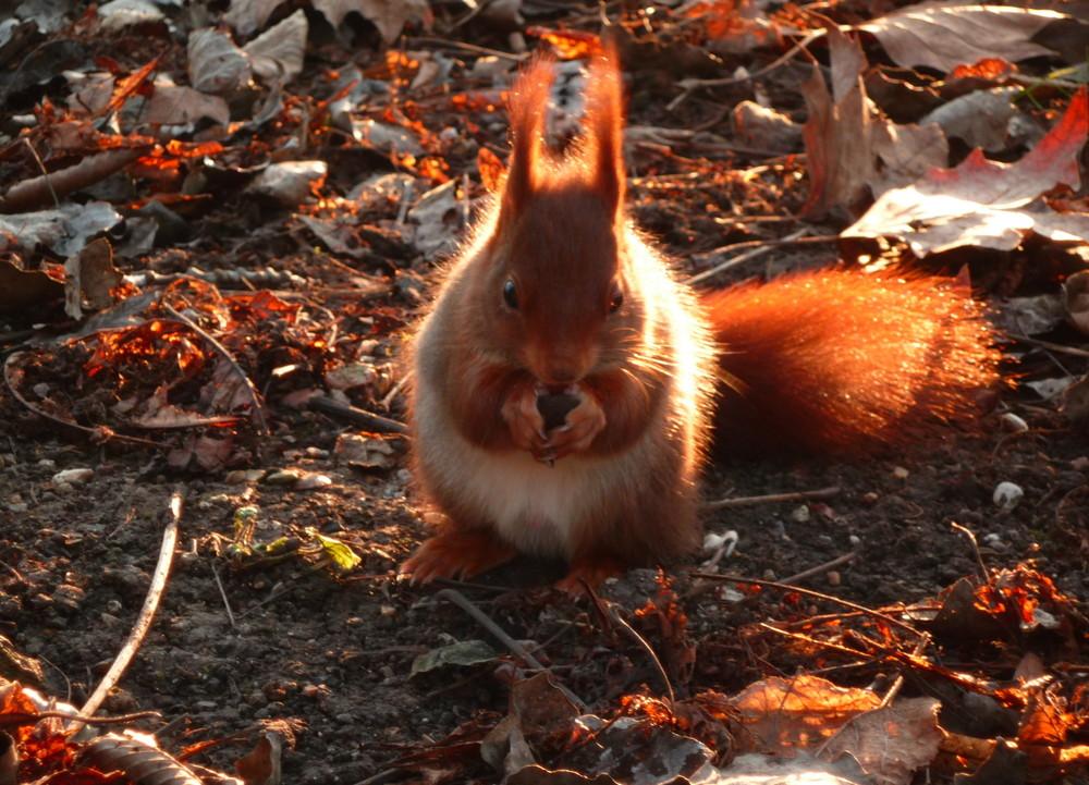 Ecureuil au crépuscule