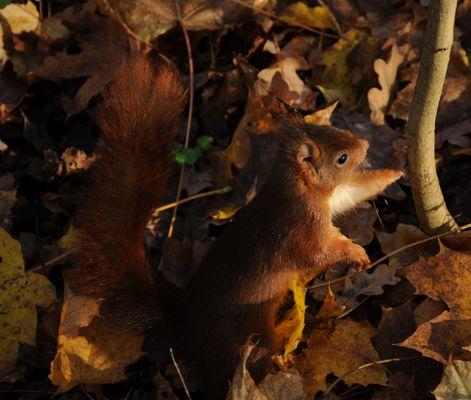 écureuil dans les bois