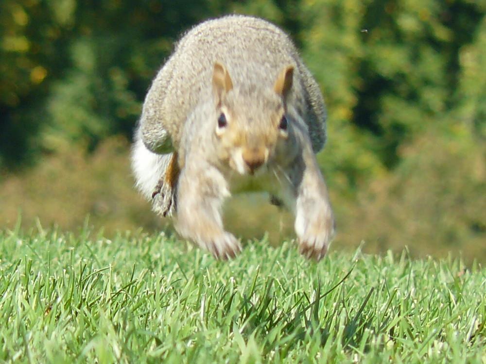écureuil dans les plaines d'Abraham
