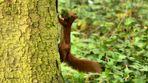 écureuil / Eichhörnchen