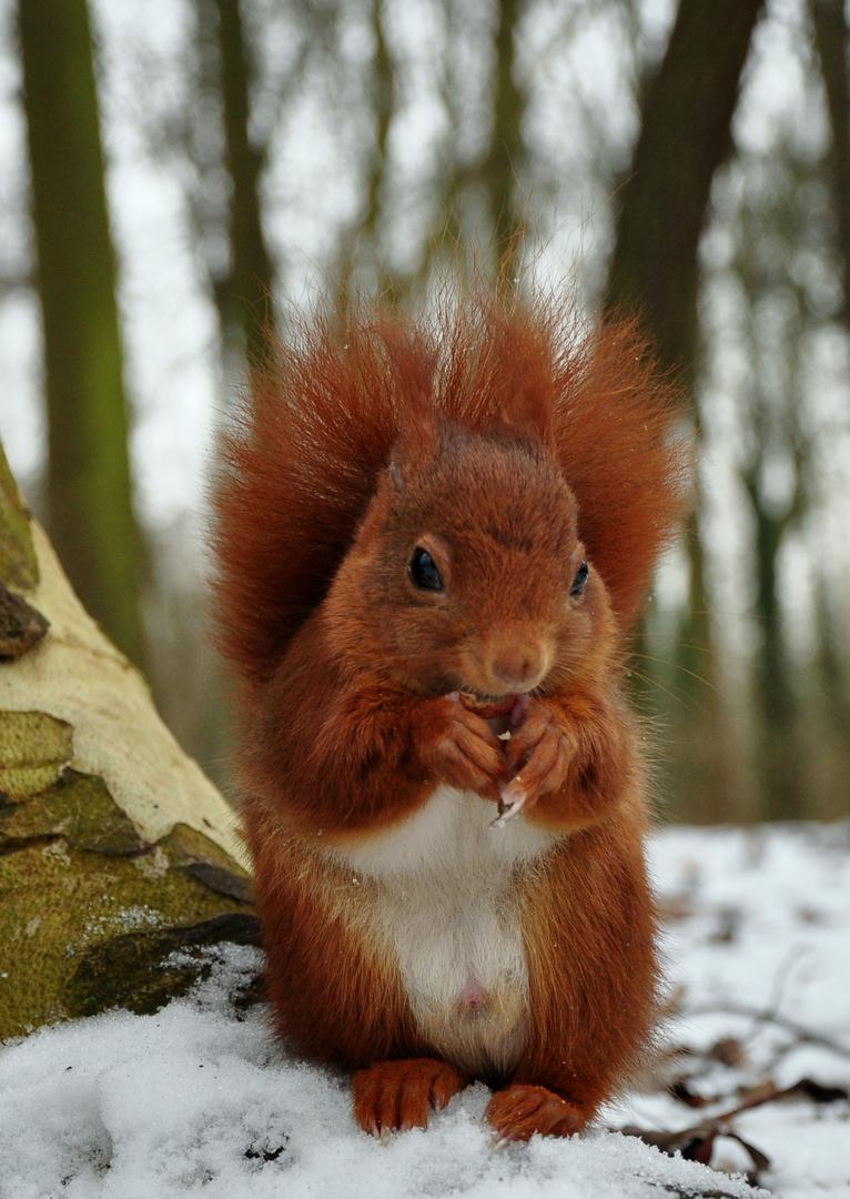 Ecureuil mangeant sur la neige