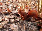 Ecureuil roux dans les bois
