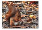 Ecureuil roux du parc de Sceaux