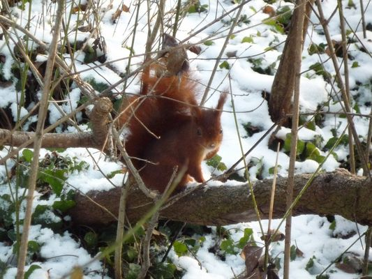 Ecureuil roux en pleine hiver