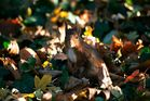 Ecureuil roux en sous bois