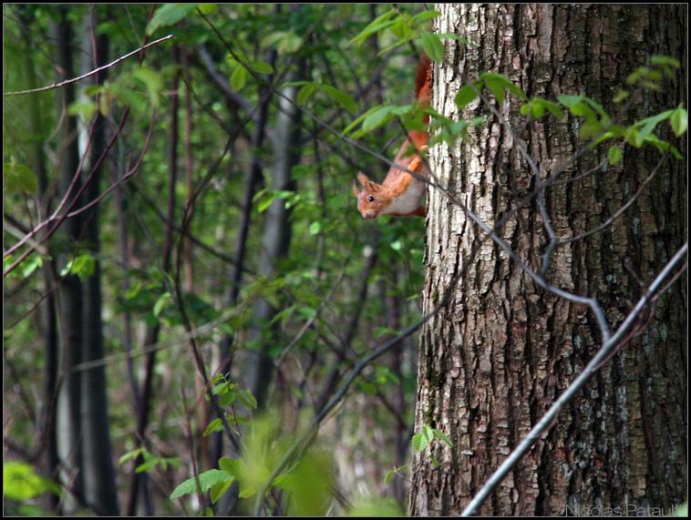 Ecureuil roux me surveillant...