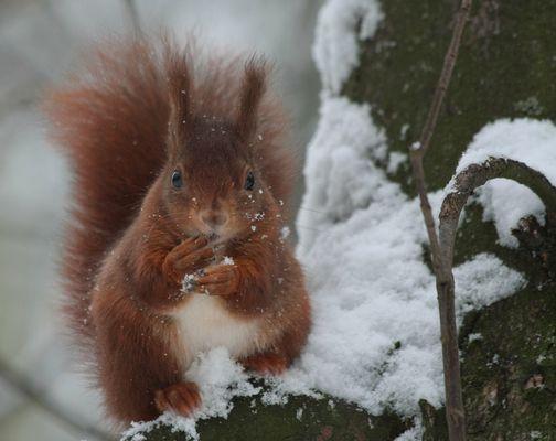 Ecureuil sous la neige