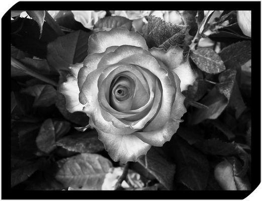 edel und tiefsinnig oder doch einfach nur wunderschön: die Rose