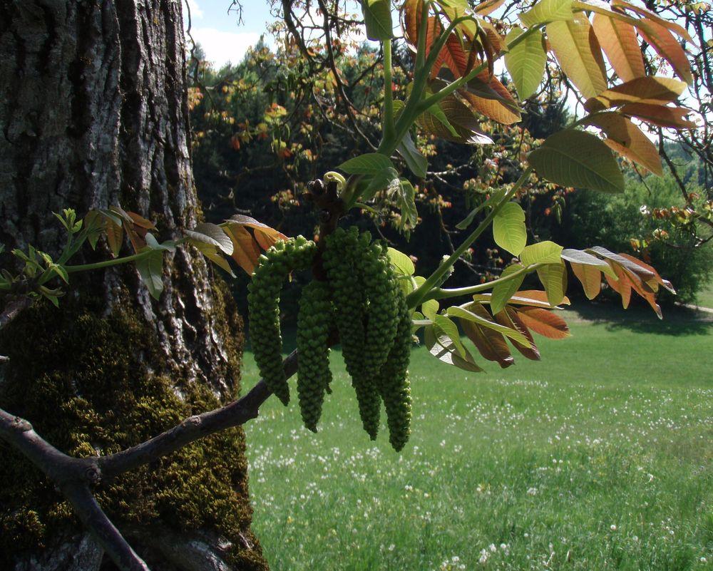 Edelkastanie wurde zum Nußbaum!
