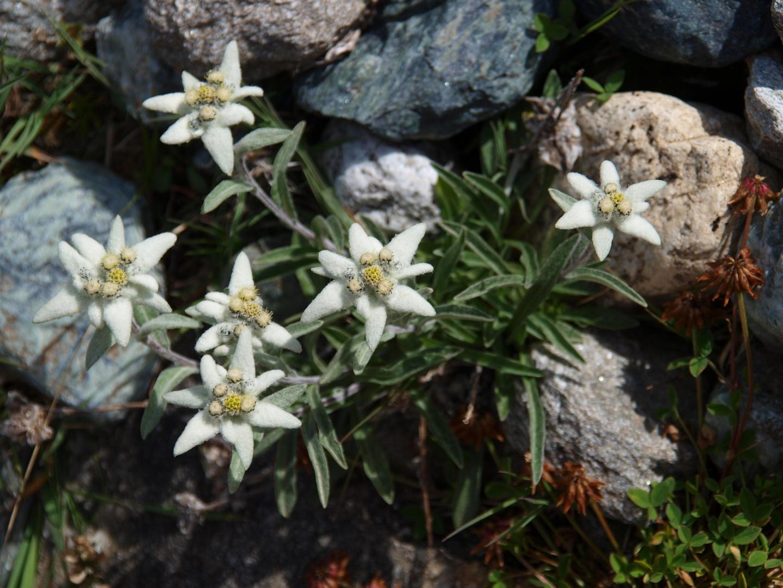 Edelweiss, die wohl berühmteste Blume der Alpen