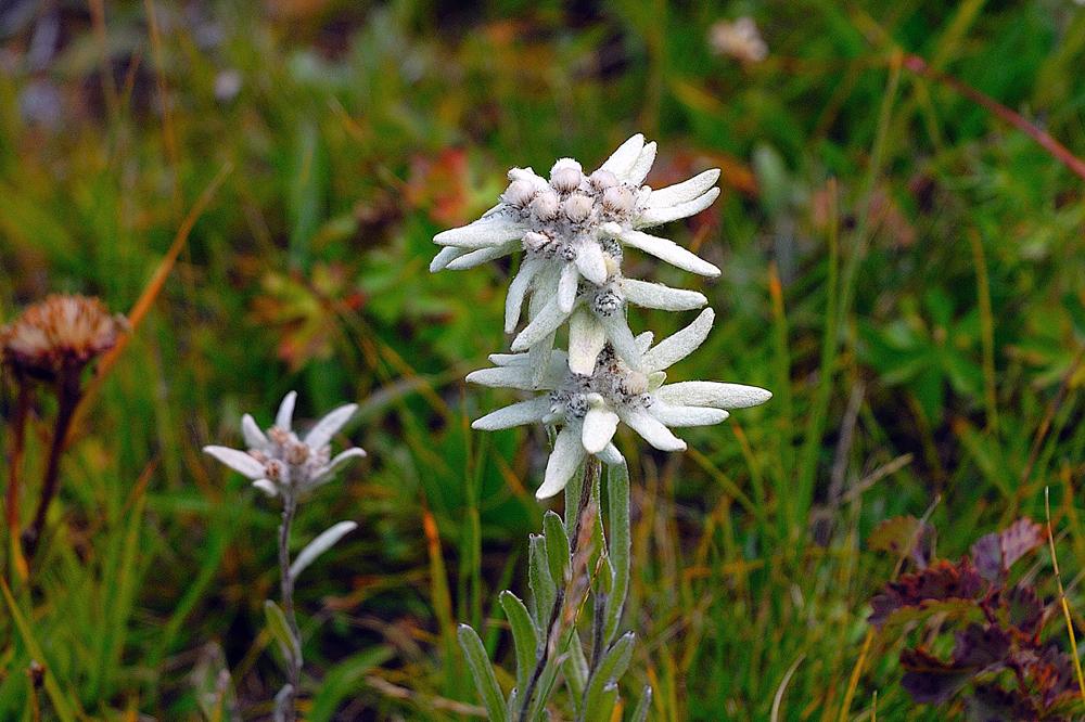 Edelweiss en mass