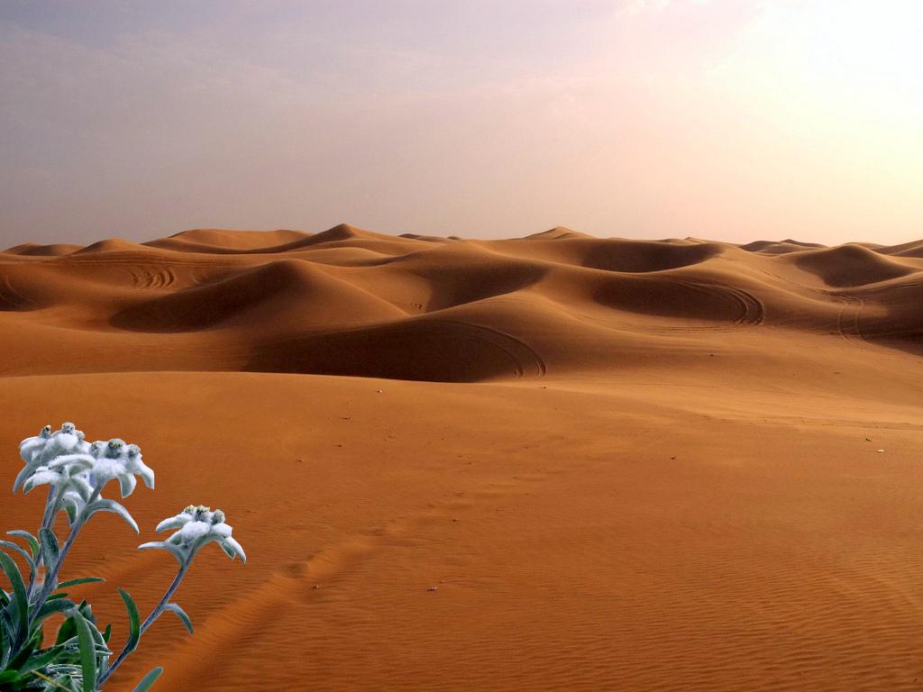 Edelweiß in der Wüste