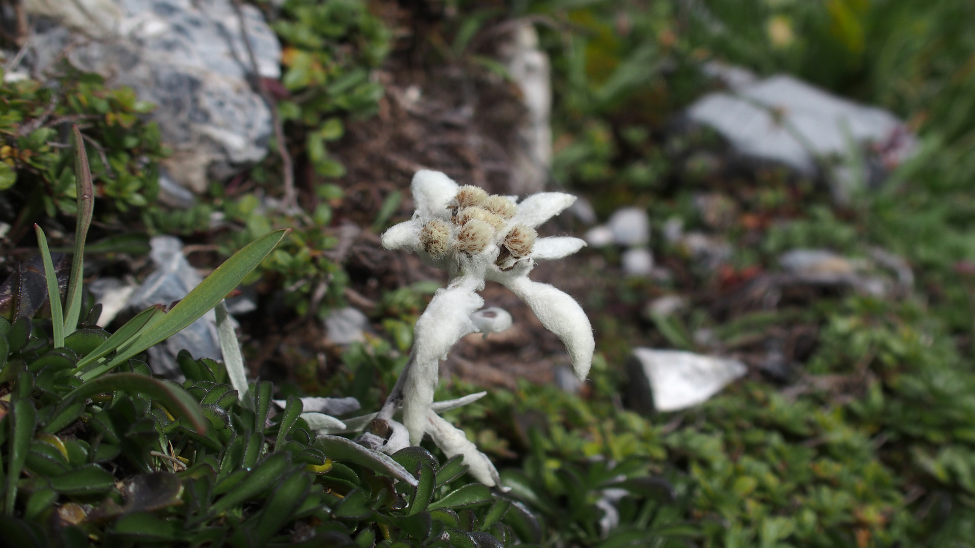Edelweiss 'Leontopodium alpinum'