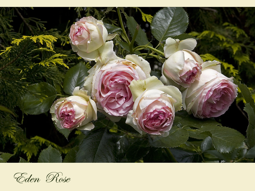 39 eden rose 85 39 foto bild pflanzen pilze flechten. Black Bedroom Furniture Sets. Home Design Ideas