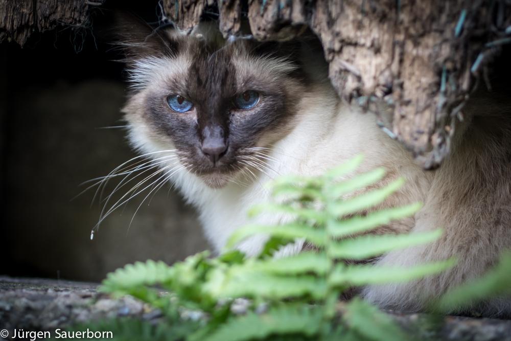 Edle Katze II