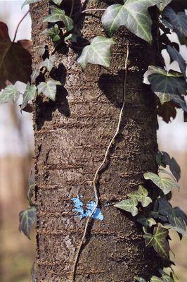 Efeu am Baum