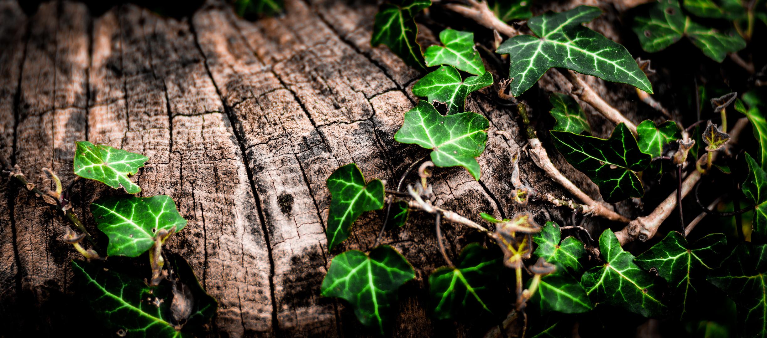 Efeu am Baumstumpf