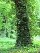 Efeu an den Bäumen