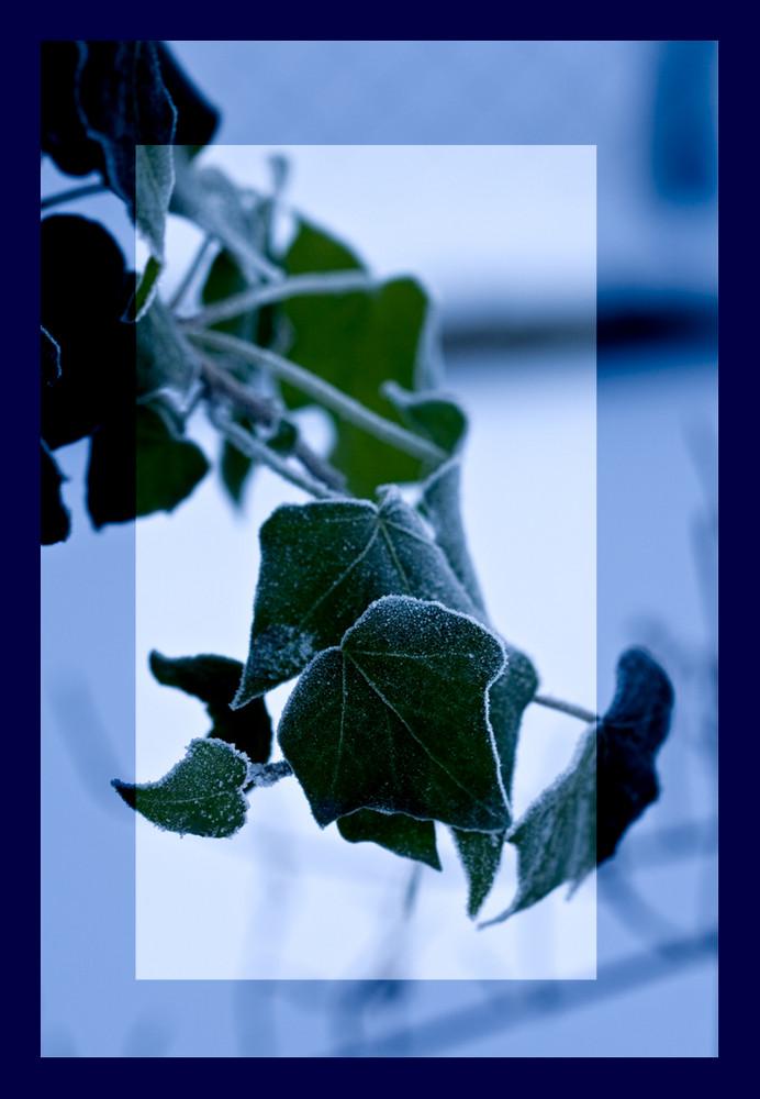 Efeu im Frost