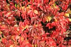 Efeu im Herbst