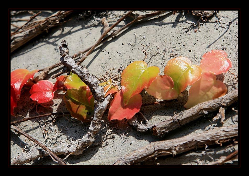 Efeu in Herbstsonne