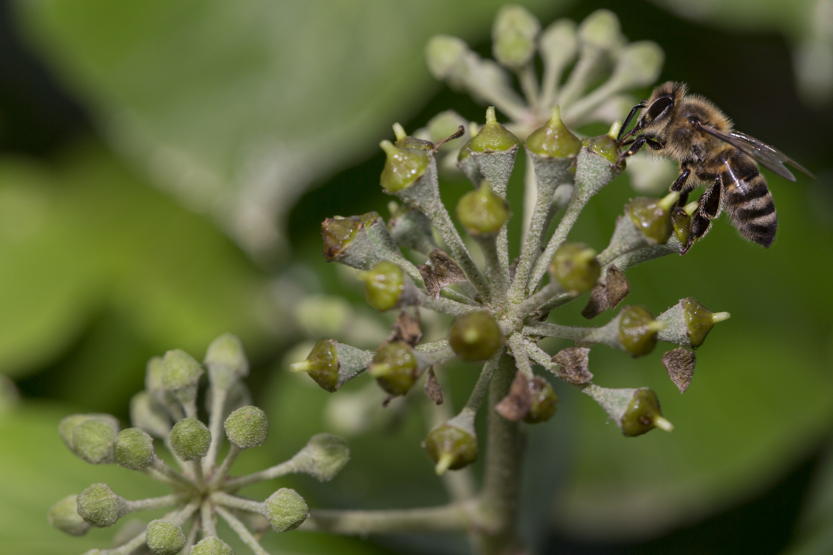 Efeublüte mit Biene