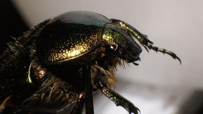 Effektlack Käfer