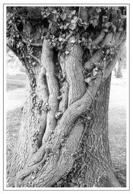 Effeu am Baum