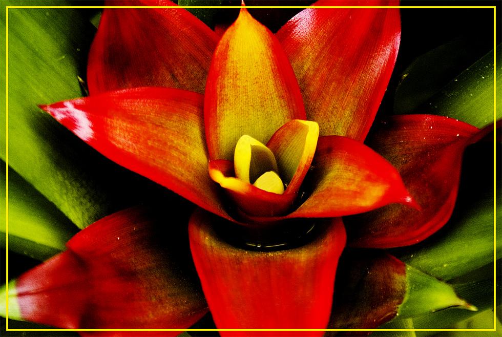 EGA - Blüten - 1  --  Bromelie