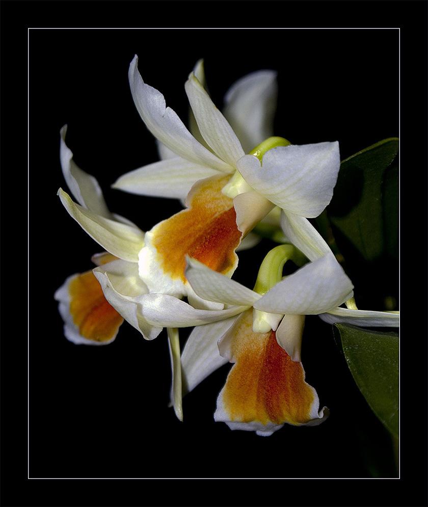 EGA - Orchidee