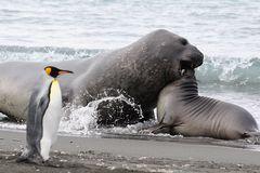 eheliche Meinungsverschiedenheiten bei See-Elefanten