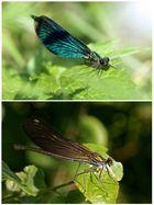Ehepaar Blauflügelprachtlibellen - Doku -
