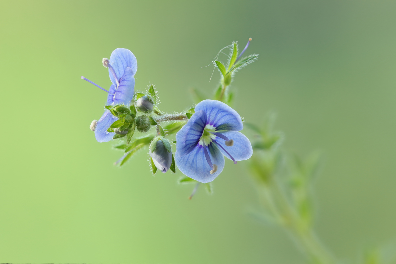 Ehrenpreis (Veronica officinalis)