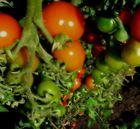 ehrliche Tomaten..