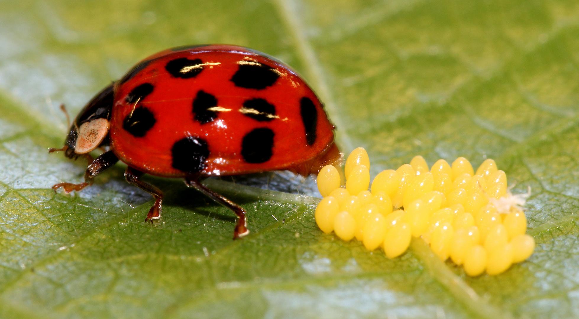 eiablage1 harmonia axyridis asiatischer marienk fer foto bild tiere wildlife insekten. Black Bedroom Furniture Sets. Home Design Ideas