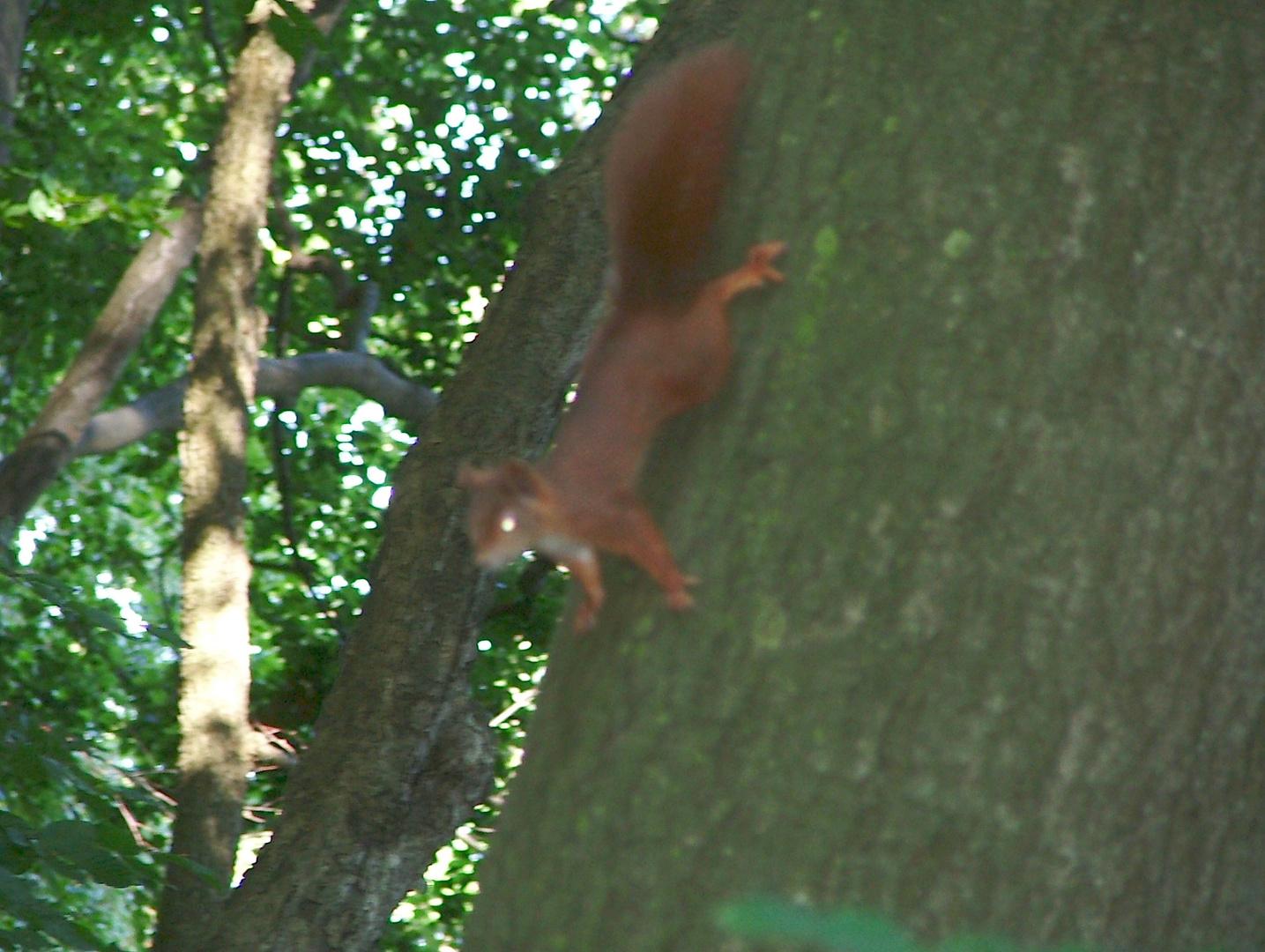 Eicchhörnchen