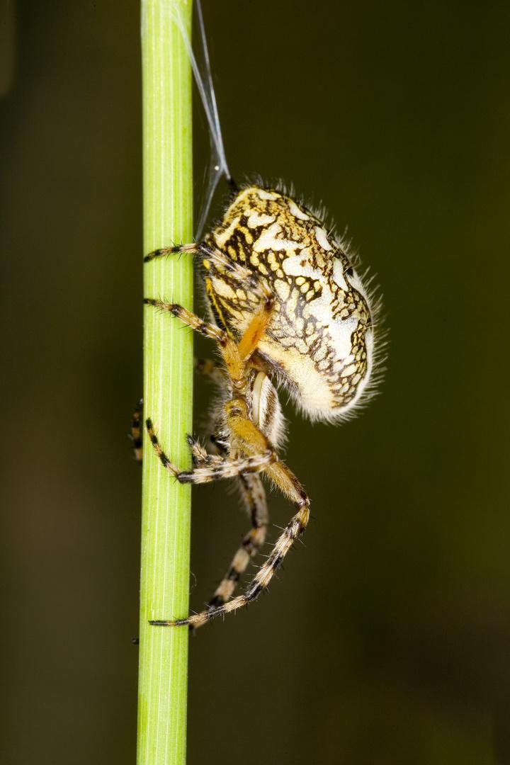 Eichblatt-Radnetzspinne (Aculepeira ceropegia) - Aculepeira ceropegia